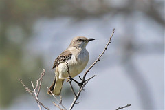 Northern Mockingbird (Jan Nagalski) Tags: bird nature wildlife mockingbird northernmockingbird statebird floridastatebird merrittisland eastcoast florida jannagalski jannagal
