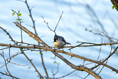 Tufted Titmouse (rebecca.rocha) Tags: tufted titmouse bird telephoto sony alpha a6000 sal70300g laea4