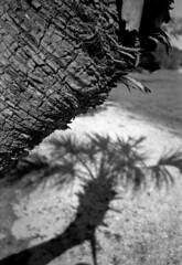 palm and shadow (Paul Lundberg) Tags: olympusinfinitystylus 35mmf35 kodaktmax100 kodakhc110 plustekopticfilm7300 35mm pointandshoot blackwhite palmtree shadow florida