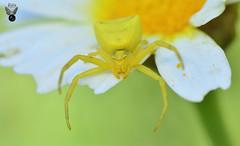 ARAÑA CANGREJO 03 (JuanMa-Zafra) Tags: araña cangrejo thomisus macro d7100 105mm nikon flash reflector difusor zafra extremadura margarita flores campo primavera