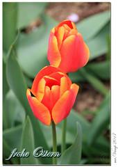 frohe Ostern (Mr.Vamp) Tags: frühling garten mrvamp mrvampvamp vamp spring blühen blüte