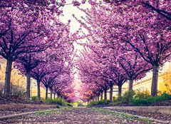 spring is still on track (CarinaMcKee) Tags: bloom trees spring pink philadelphia