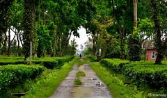 Lush (mala singh) Tags: teaestate green trees rain arunachal india