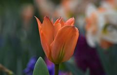 Tulip (careth@2012) Tags: tulip petals flower nature spring