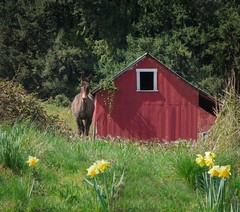 Horse Shed and Daffodils 4447 D (jim.choate59 (away shooting)) Tags: horse shed red daffodils country rural spring rustic jchoate clackamascounty oregon on1pics