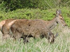 Red deer (deannewildsmith) Tags: staffordshire deer reddeer chasewater animal