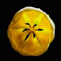 Solar power (mysticislandphoto) Tags: flower tulip sunlight macro doublefantasy
