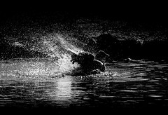 Serious matters (Elin Laxdal) Tags: goose anseranser bathing water pond sun silhouette bw grágás