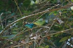 Blue Dacnis (Dacnis cayana) (Jan Ranson) Tags: 2016 bluedacnis brownsberg dacniscayana suriname