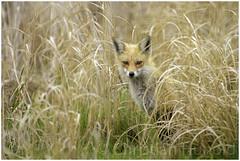 vixen (Christian Hunold) Tags: redfox vixen fox vos fuchs canid mammal bombayhooknwr delaware delmarva christianhunold