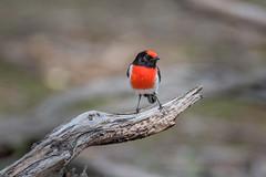 Male Red-capped Robin DSC_3178 (BlueberryAsh) Tags: woodlandshistoricpark birds redcappedrobin maleredcappedrobin australianbird robin tamron150600 nikond750