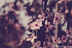 Spring Blooms (thomask8) Tags: springblooms floweringtrees flowers flower pinkflower pinktree outdoors nature naturescenes photography canon 5ds