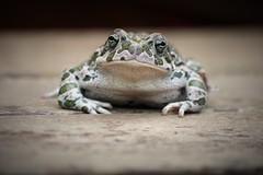 Sorry. I'm very tired. I haven't slept. (Angelo Petrozza) Tags: rospo toad anfibi amphibian fog rana angelopetrozza pentaxk70 55300f458 stilllife portrait ritratto