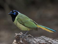 Green Jay (ruthpphoto) Tags: bird animal greenjay outdoor