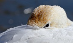 A Careful Repose (Slow Turning) Tags: cygnusbuccinator trumpeterswan bird waterfowl resting repose closeup eyecontact headtucked bokeh winter southernontario