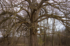 Face in This Old Tree (marylea) Tags: apr9 tree 2017 northterritorialrd earlyspring faceintree noleaves oak bigtree