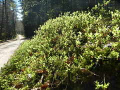Blaubeere (Vaccinium myrtillus) (2), NGID360520942 (naturgucker.de) Tags: ngid360520942 naturguckerde blaubeerevacciniummyrtillus müritznationalpark cingebartholomäuskaelcke