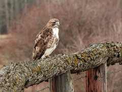 01 Rough-legged Hawk / Buteo lagopus (annkelliott) Tags: alberta canada swofcalgary nature ornithology avian bird birds hawk roughleggedhawk perched frontsideview fence railing lichencovered field woodland bush trees outdoor 28april2017 fz200 fz2004 annkelliott anneelliott ©anneelliott2017 ©allrightsreserved