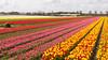 DSC_3020 (Omar Rodriguez Suarez) Tags: bloemenstreek tulips bulbs tulipanes bulbos flowers flores