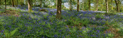 122/365 Bluebell Woods ([inFocus]) Tags: canon 5d 5dmkiv 2470mmf28lii 2470mm 365 3652017 project365 photoaday blue bluebells rodehall cheshire woodland gardens spring flowers colour landscape
