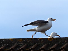 Remember the Ministry of Silly Walks? (Donna JW) Tags: picmonkey ministryofsillywalks gulls lesserblackbackedgulls rooftop westonsupermare larusfuscus