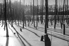Majorka swamp. (TomasLudwik) Tags: majorka swamp western poland winter