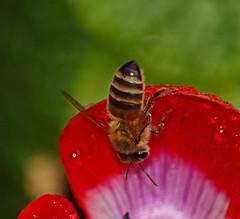 2017_04_0382 (petermit2) Tags: poppyanemone anemonedecaen anemone bolsovercastle bolsover castle heritage garden venusgarden heritagegarden derbyshire englishheritage honeybee bee
