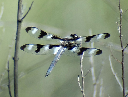 Twelve-spotted Skimmer male