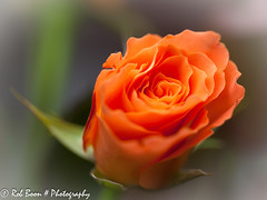 20130518_1022_Roos (Rob_Boon) Tags: plant flower macro rose roos wijlre