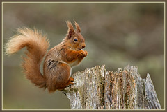Red Squirrel (Sciurus vulgaris) (Dis2w) Tags: scotland highlands treestump redsquirrel sciurusvulgaris caingorms rothiemurchusestate