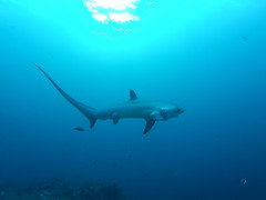 Thresher shark (tommo1001) Tags: shark underwater philippines scuba gopro hero2