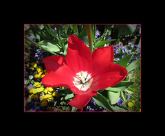 Past its best (pefkosmad) Tags: flowers flores color colour nature fleurs blumen frame tulip herefordshire framing fiori pembridge ipiccy