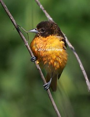 Baltimore-oriole-spring-adult-female_0999 (Warbler_King) Tags: orioles baltimoreoriole chicagobirds baltimoreoriolespringadultfemale