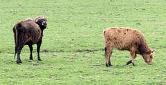 Heckrunderen (Johan's pictures) Tags: thenetherlands flevoland lelystad oostvaardersplassen bolderkar heckrunderen nmd2013