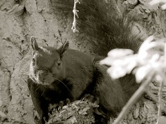 squirrel (Dingerz) Tags: tree nature animal forest canon squirrel schnauzer