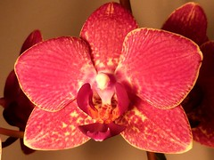 Orchid (ynotwooly) Tags: flowers macro strand lumix orchids panasonic kings fz48