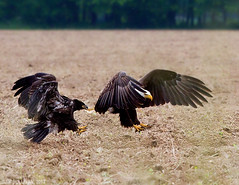 Bald Eagles by Jim Sullivan (jb.sullivan) Tags: county bald jim southern sullivan eagles vigo