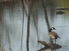Canada Goose (DRGorham) Tags: canadagoose brantacanadensis newtecumsethsimcoecountyontariocanada
