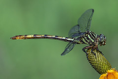 broad-striped forceptail (explored 6/7/2013) (robert salinas) Tags: austin dragonflies sigma odonata a57