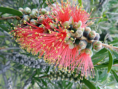 Native Bottle Brush (Jak 45) Tags: