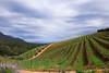 Vineyard, Tokara (Osdu) Tags: africa travel tourism southafrica vineyard wine franschhoek tokara simplysuperb quarzoespecial