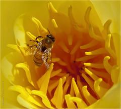 Flower Lover (-Dagmar-) Tags: flower macro santabarbara insect waterlily bee honeybee droh dailyrayofhope