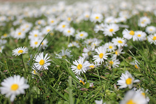 Daisies everywhere!