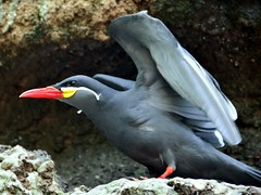Inca Tern (Eddie C3) Tags: nature birds bronxzoo animalplanet zoos incatern larosternainca wildlifeconservationsociety aquaticbirds