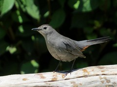 Catbird (KoolPix) Tags: bird nature animal beak feathers catbird naturephotography naturephotos naturephotographer animalphotographer koolpix photocontesttnc12 jaydiaz jaydiaznaturephotographer photocontesttnc13 wcswebsite