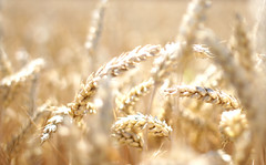 Wheat / Weizen (manoftaste.de) Tags: food bread farmers farm wheat grain harvest brot staple ernte getreide weizen bauern lightbrown hellbraun grundnahrungsmittel nahrungsanbau foodcultivation