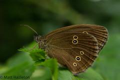 Ringlet (Matt Hazleton) Tags: summer nature canon butterfly wildlife northamptonshire 7d 1855mm wildlifetrust ringlet canon1855mm aphantopushyperantus canon7d fermynwood summerwatch bcnwildlife matthewhazleton