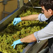 Jordan Harvest 2013 Chardonnay sorting table.jpg