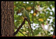 La perruche se met au vert (mamnic47 - Over 5 millions views.Thks!) Tags: automne bokeh animaux sceaux cureuil parcdesceaux hautsdeseine img6945 perruchescollier