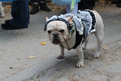 nyc newyorkcity dog eastvillage newyork photo foto image awesome lowereastside snapshot picture photograph gothamist 犬 animale dogrun howloween 狗 tompkinssquarepark halloweendogs dogcostume halloweendog costumeddog dogwearingclothes newyorkdogs halloweenhowl doginacostume decoratedanimal doghalloweencostumes halloweendogcostume howlloween canetravestito caneincostume halloweencostumesfordogs doginahalloweencostume 2013tompkinssquareparkhalloweendogparade halloweendogparade2013 23rdannualtompkinssquarehalloweendogparade 2013eastvillagedogparade